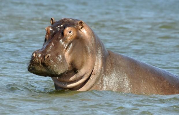 Hippos 4 lyfe
